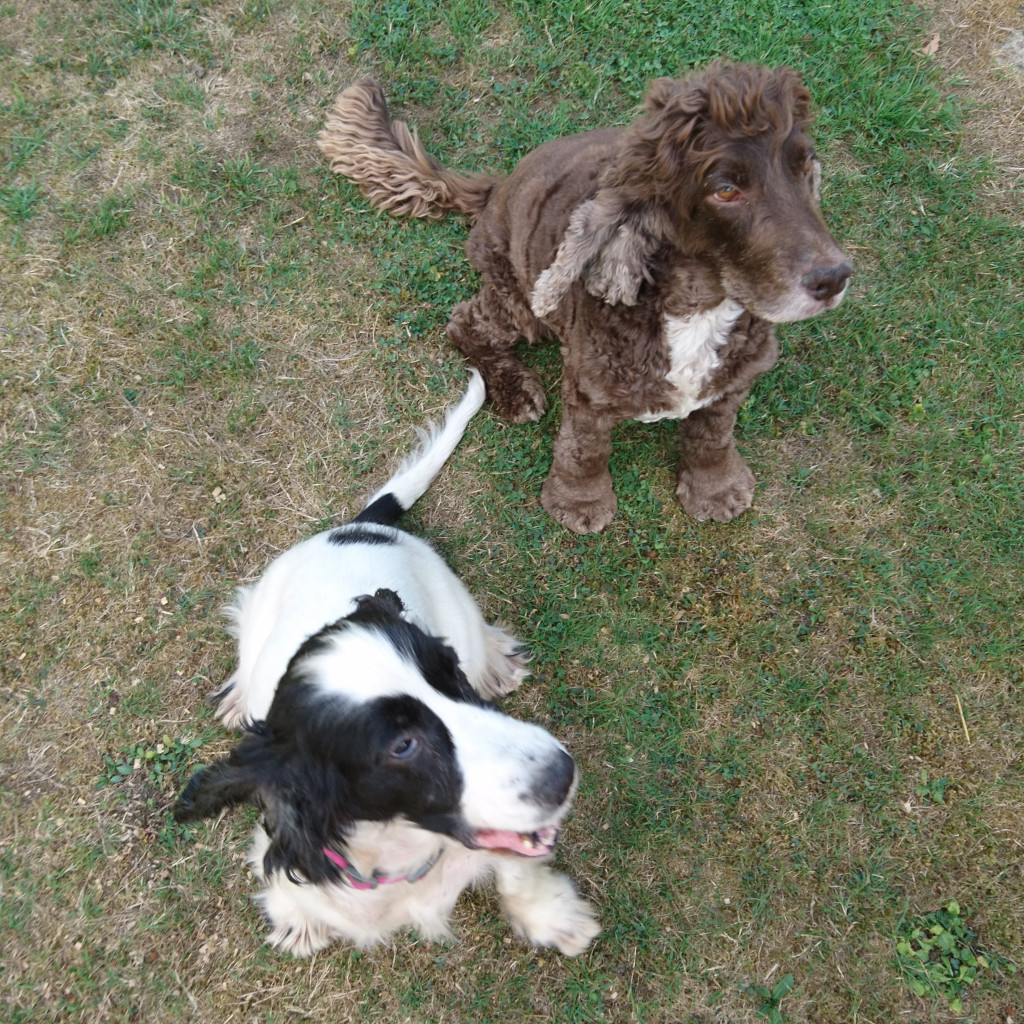 Cookie and Florence: the barking spaniels